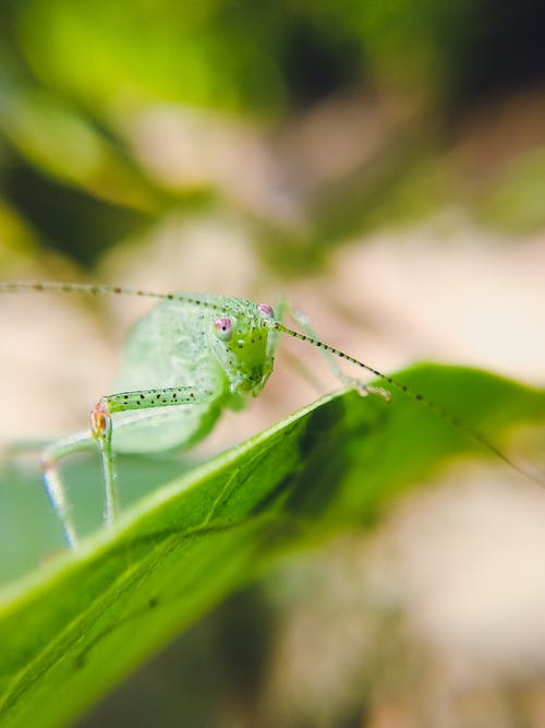 Green Grasshopper Perched on Green Leaf