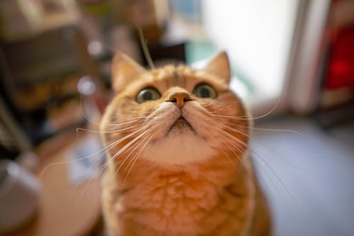 Close-Up Shot of an Orange Domestic Cat