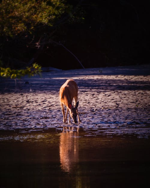 沼澤, 鹿 的 免費圖庫相片