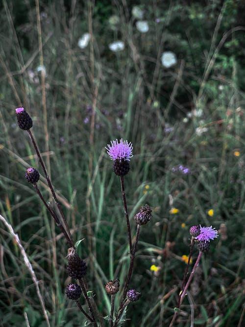 Delicate violet blooming thistle in herb