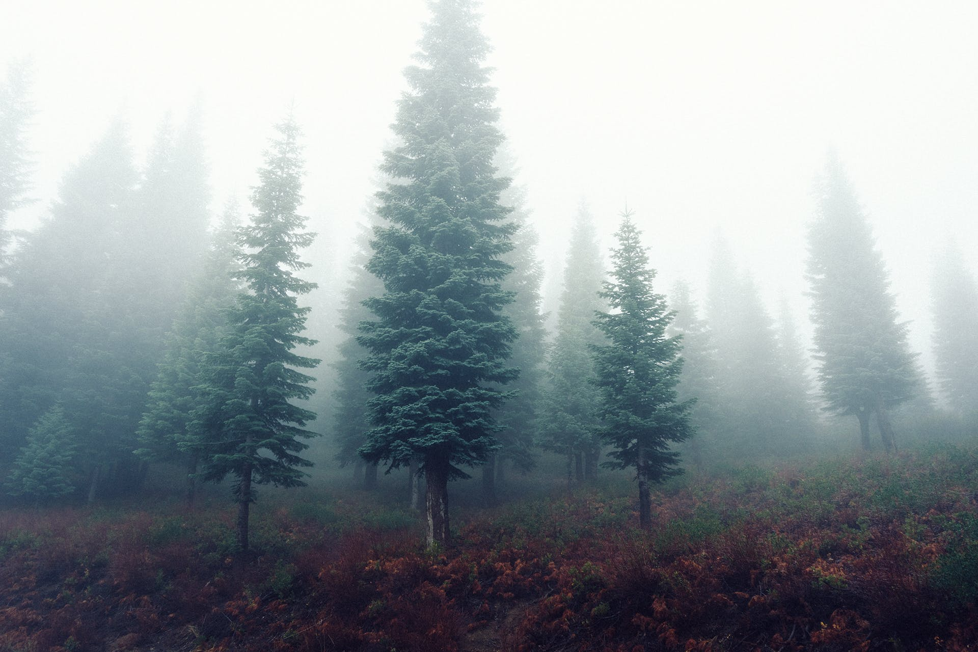 Free stock photo of forest, trees, fog, foggy
