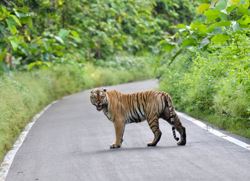 Tiger Walking on the Road