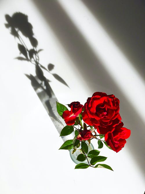 Red Rose on White Table