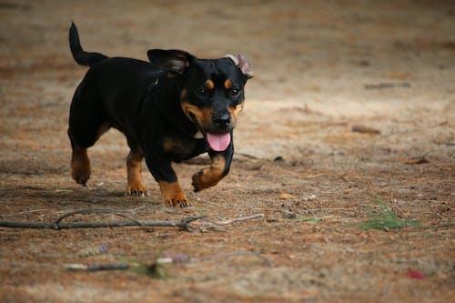 Close-Up Shot of a Miniature Pinscher Puppy Running