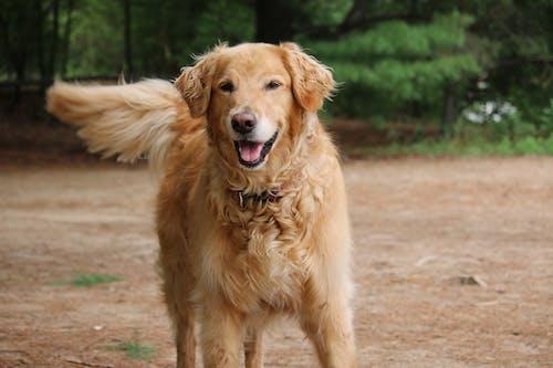 Fotos de stock gratuitas de adorable, animal, canidae