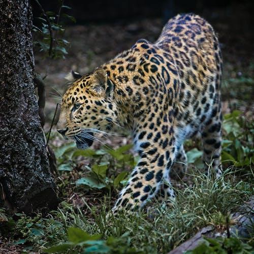 Бесплатное стоковое фото с животное, леопард