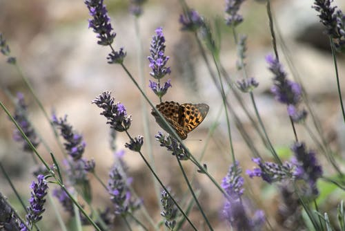 Close-Up Shot of a Butterfly Perched on a Lavender