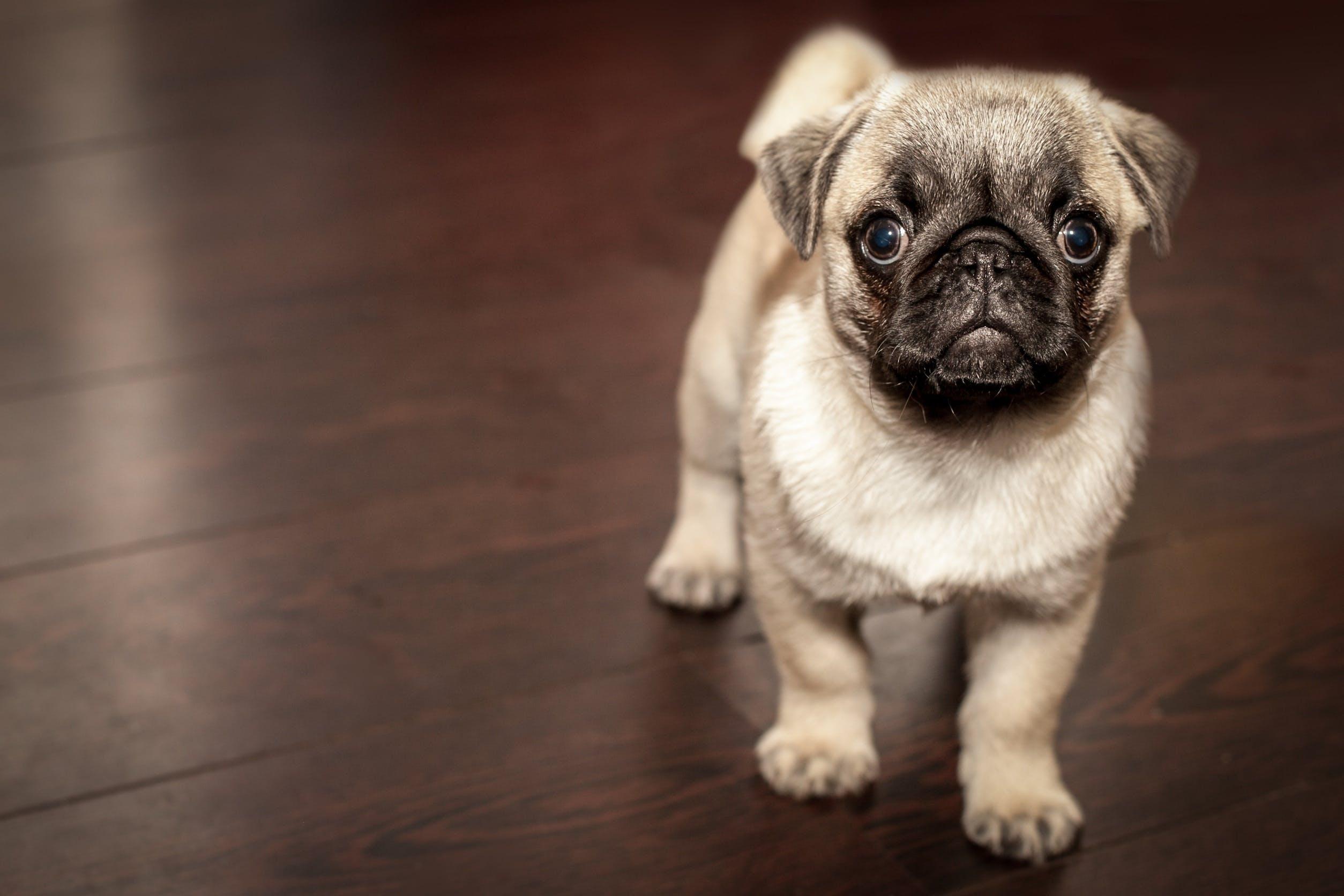 Free stock photo of animal, dog, cute, puppy