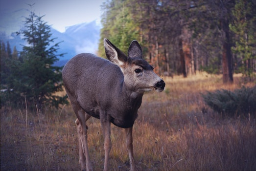 Free stock photo of forest, animal, wilderness, deer