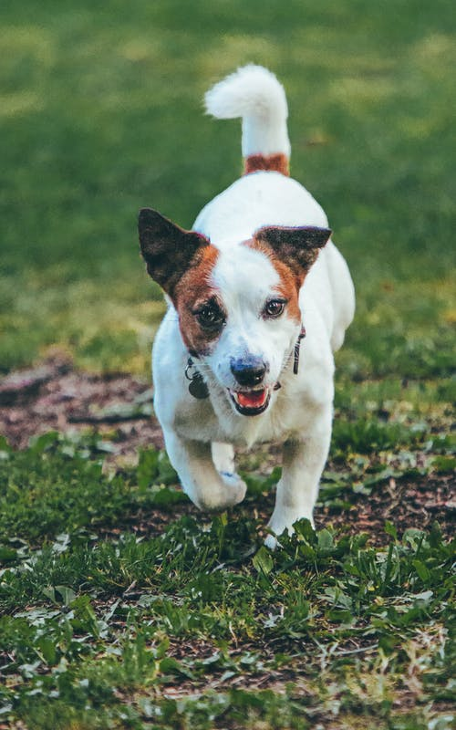 Close-Up Shot of a Jack Russell Terrier Running on a Grassy Field