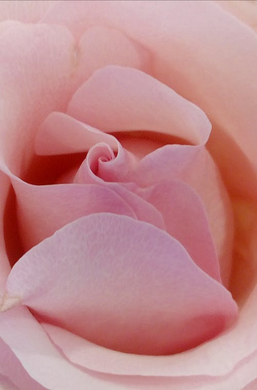 Pink Rose In Close Up Photo