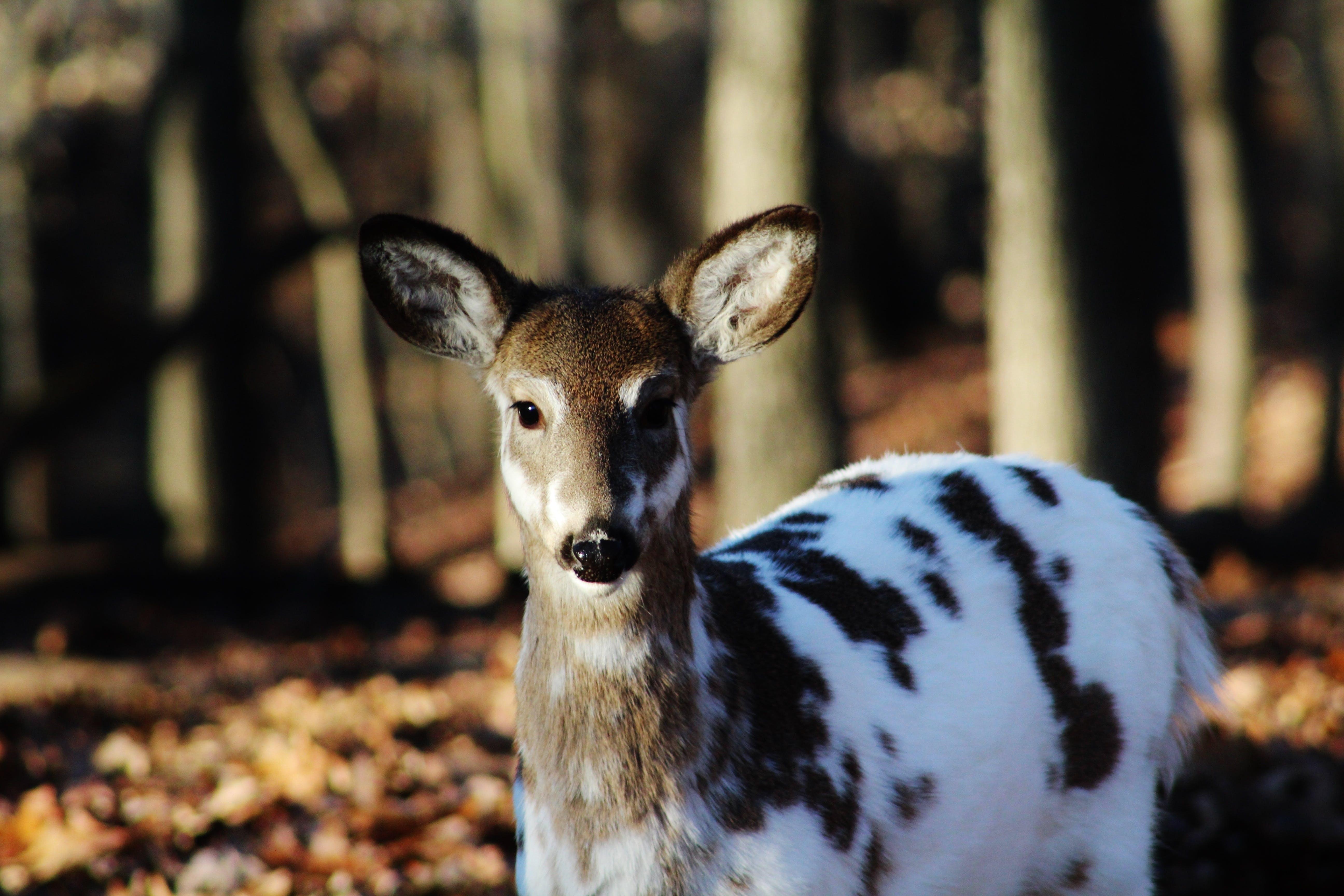Brown Black and White Deer