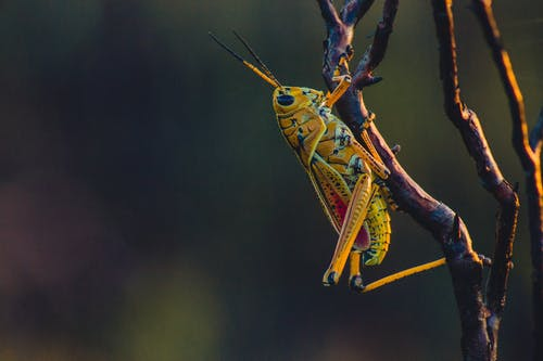 Close-up Photo Of Grasshopper