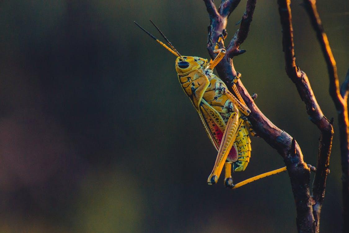 Close-up Photo Of Grasshopper
