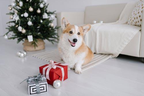 Corgi Sitting Beside Christmas Presents