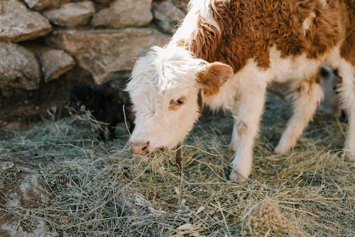 Cute calf grazing frozen grass on farm