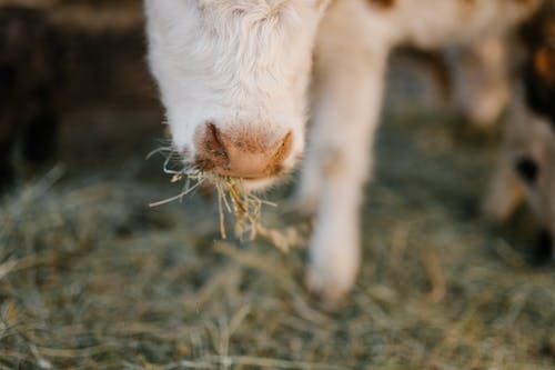 Cow nose with grass in mouth
