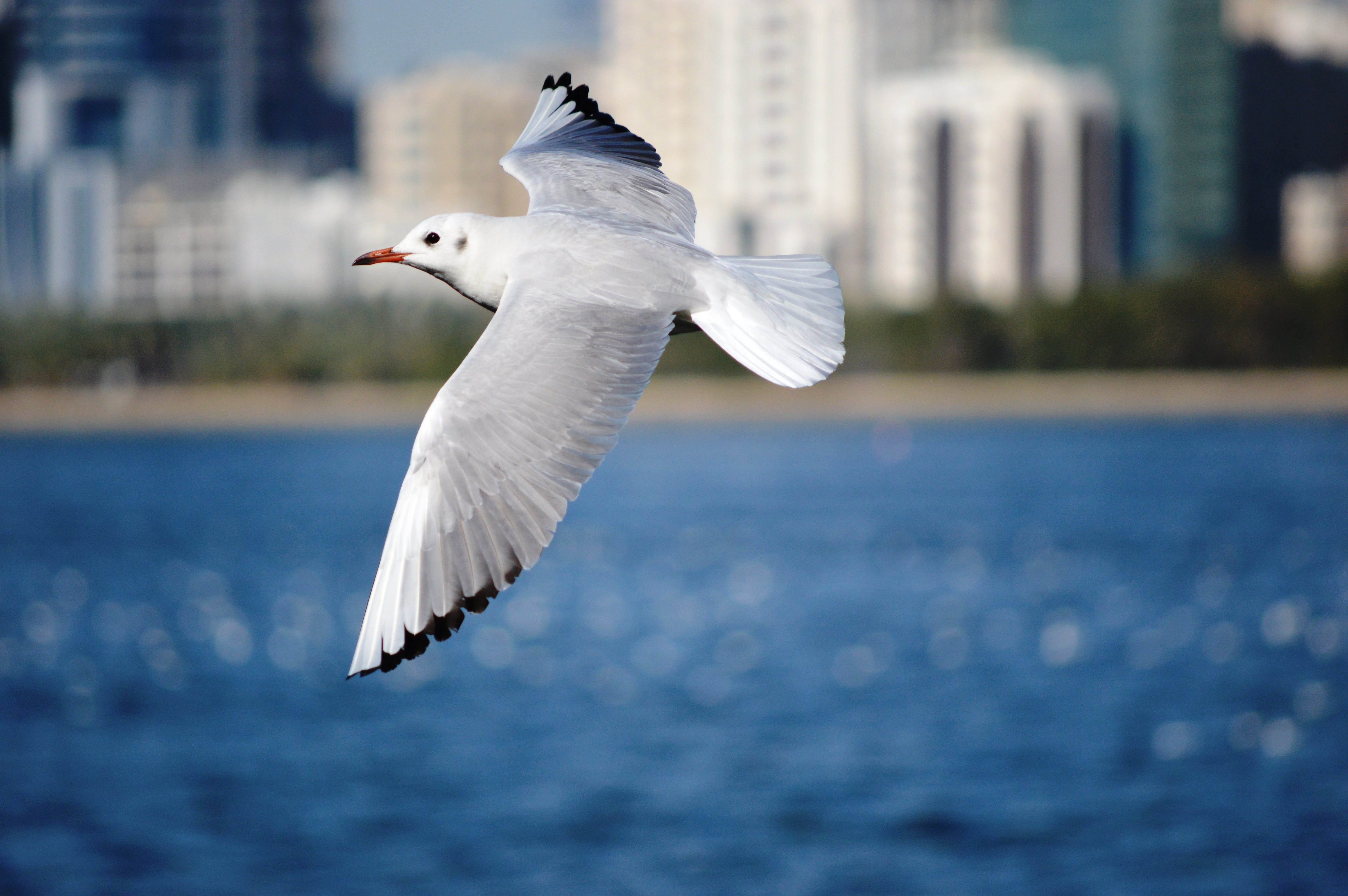 White Bird Flying on Top of Water