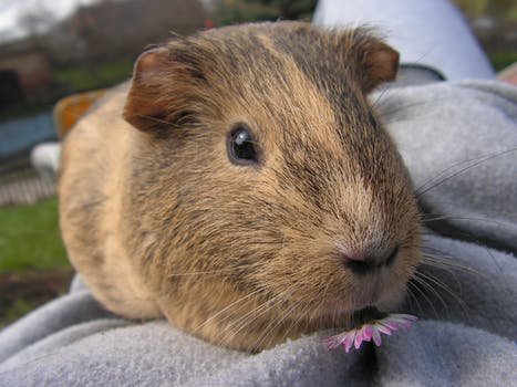 Free stock photos of guinea pig pexels for Guinea pig pictures free