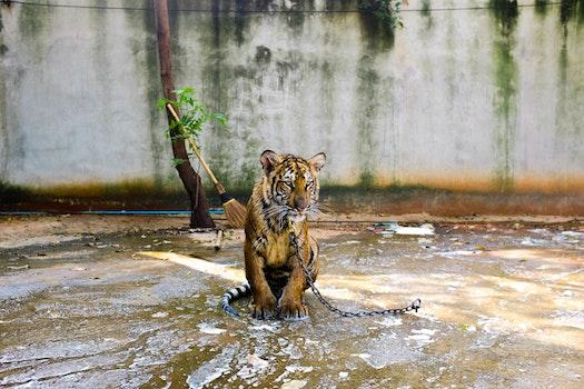 Free stock photo of animal, zoo, tiger, leash