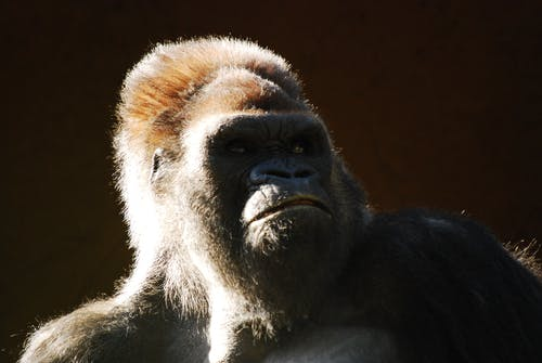 Ingyenes stockfotó állat, álló kép, emberszabású majom, emlős témában