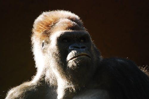 Fotobanka sbezplatnými fotkami na tému cicavec, divočina, divý, gorila