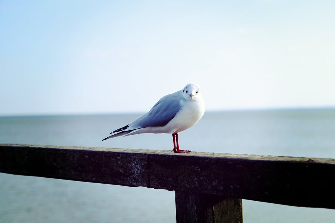 White and Grey Sea Bird Resting on Wooden Rail by the Sea