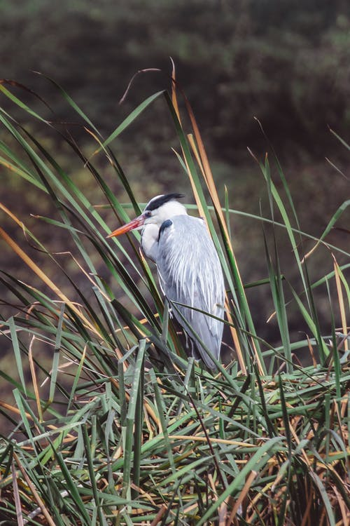 Gray heron standing on grassy meadow