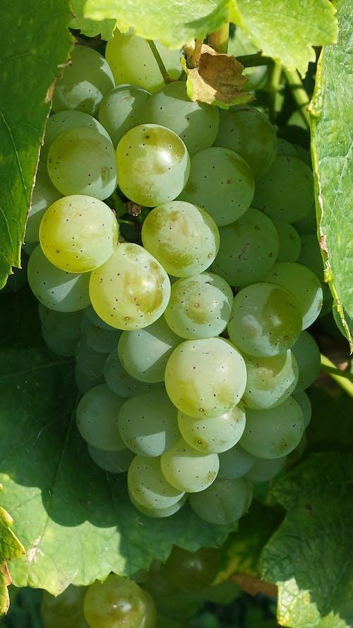 新鮮, 綠色, 葡萄, 葡萄藤 的 免费素材照片