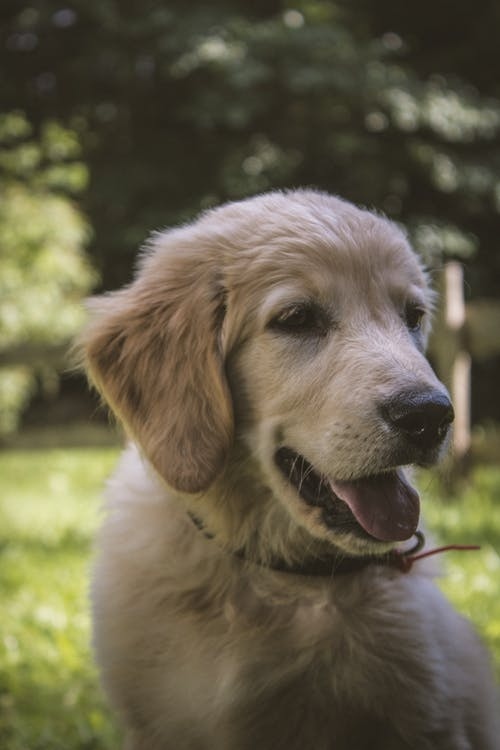 Portrait of Golden Retriever Puppy