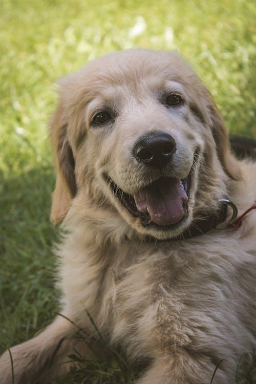 Golden Retriever Puppy Lying on Green Grass