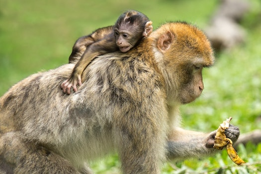 Baby Monkey Hanging at the Back Off Adult Monkey