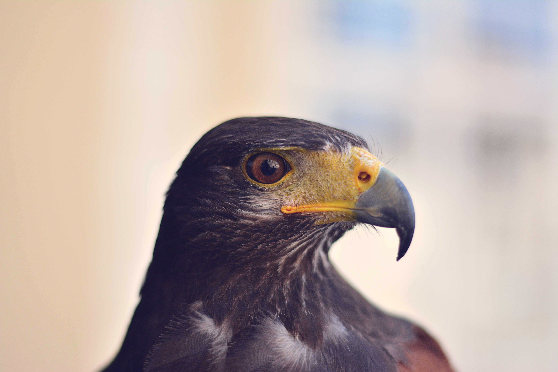 Free stock photo of bird, animal, beak, eagle