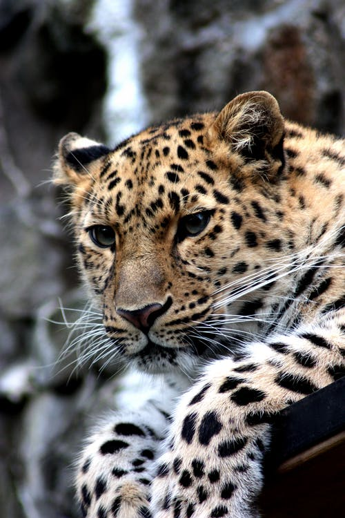 Focus Photography of Black and Brown Leopard Sitting