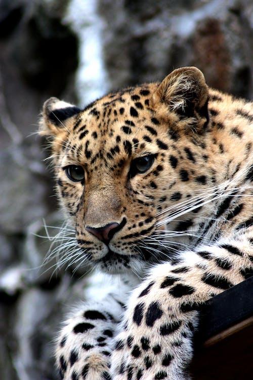 dyr, dyrefotografering, leopard