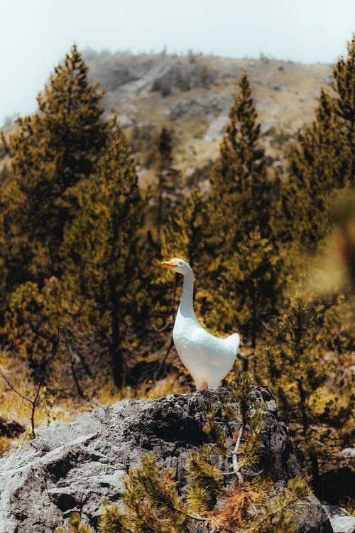 White Duck on Brown Rock