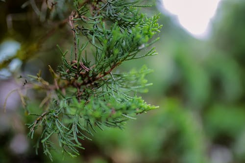 Closeup of evergreen spruce with soft needles growing in green park in daylight