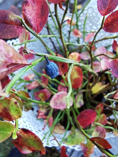 Free stock photo of blueberry, decor, Finland
