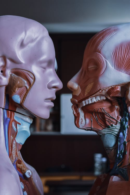 Human anatomical mannequins placed near each other