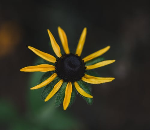 Blossoming black eyed Susan with yellow petals