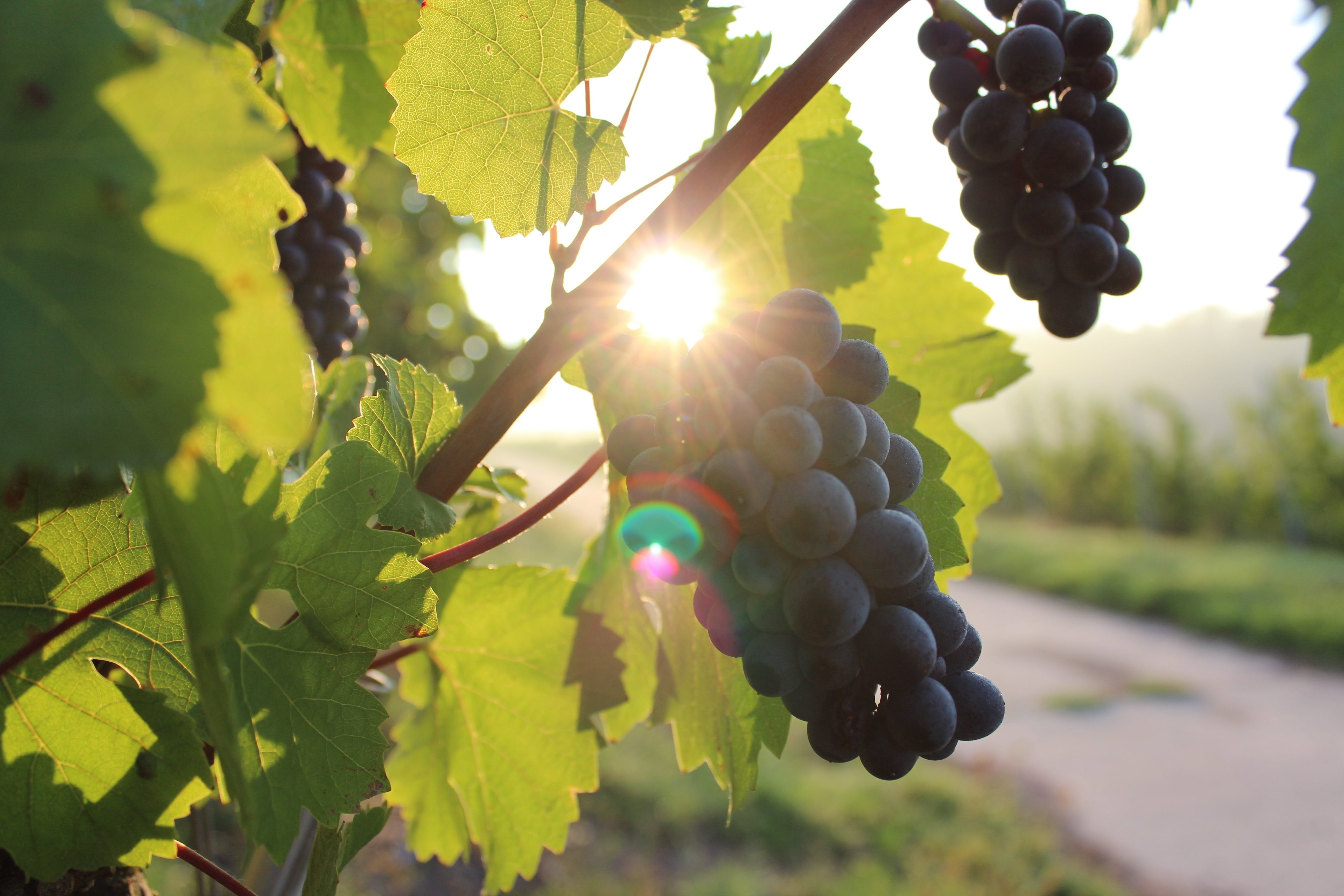 Free stock photo of nature, agriculture, farm, grapes