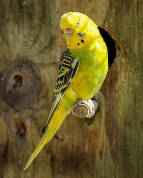 Yellow and Black Parakeet