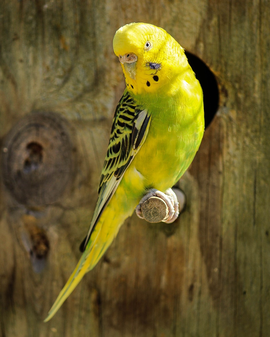 Yellow and Black Parakeet