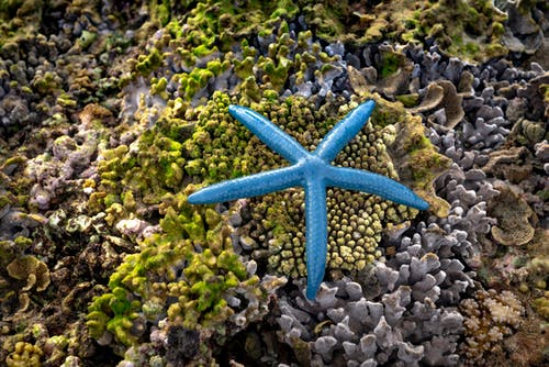 High angle of vibrant blue exotic Linckia laevigata starfish on amazing rough stony corals growing on seashore during low tide