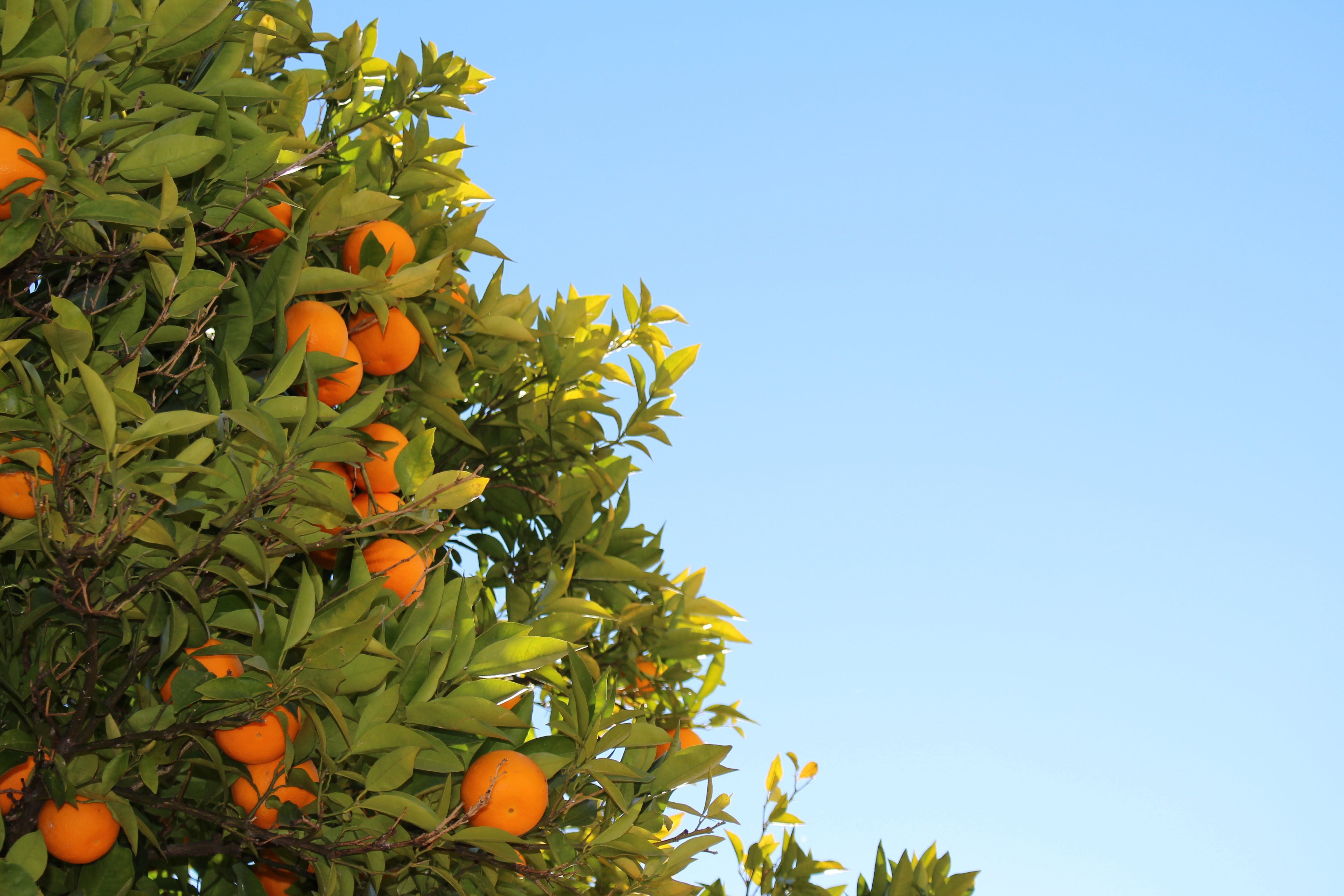 Free stock photo of sky, blue, fruits, leaves