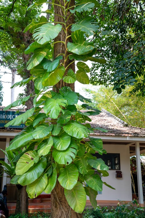 Exotic creeping plant growing on tree trunk against building in green tropical forest