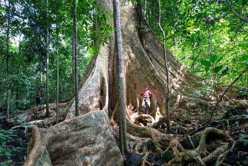 Hikers walking around tree with giant roots and trunk growing in green lush tropical woods