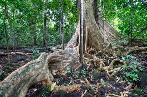 Tall tree trunk with massive roots on ground with leaves growing in famous national park Cat Tien with deciduous plants