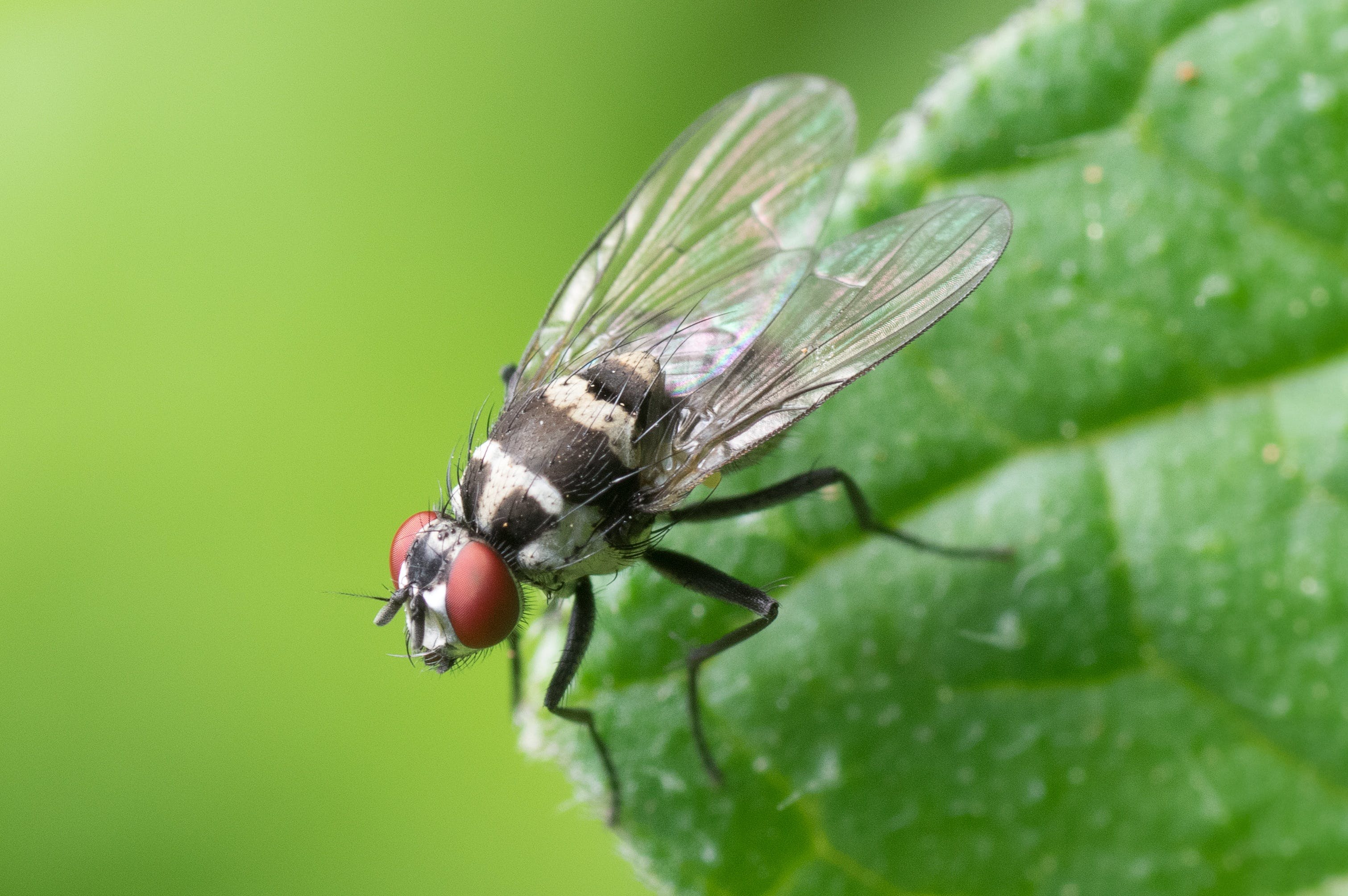 Black and Red Flying Insect Perched on Green Leaf