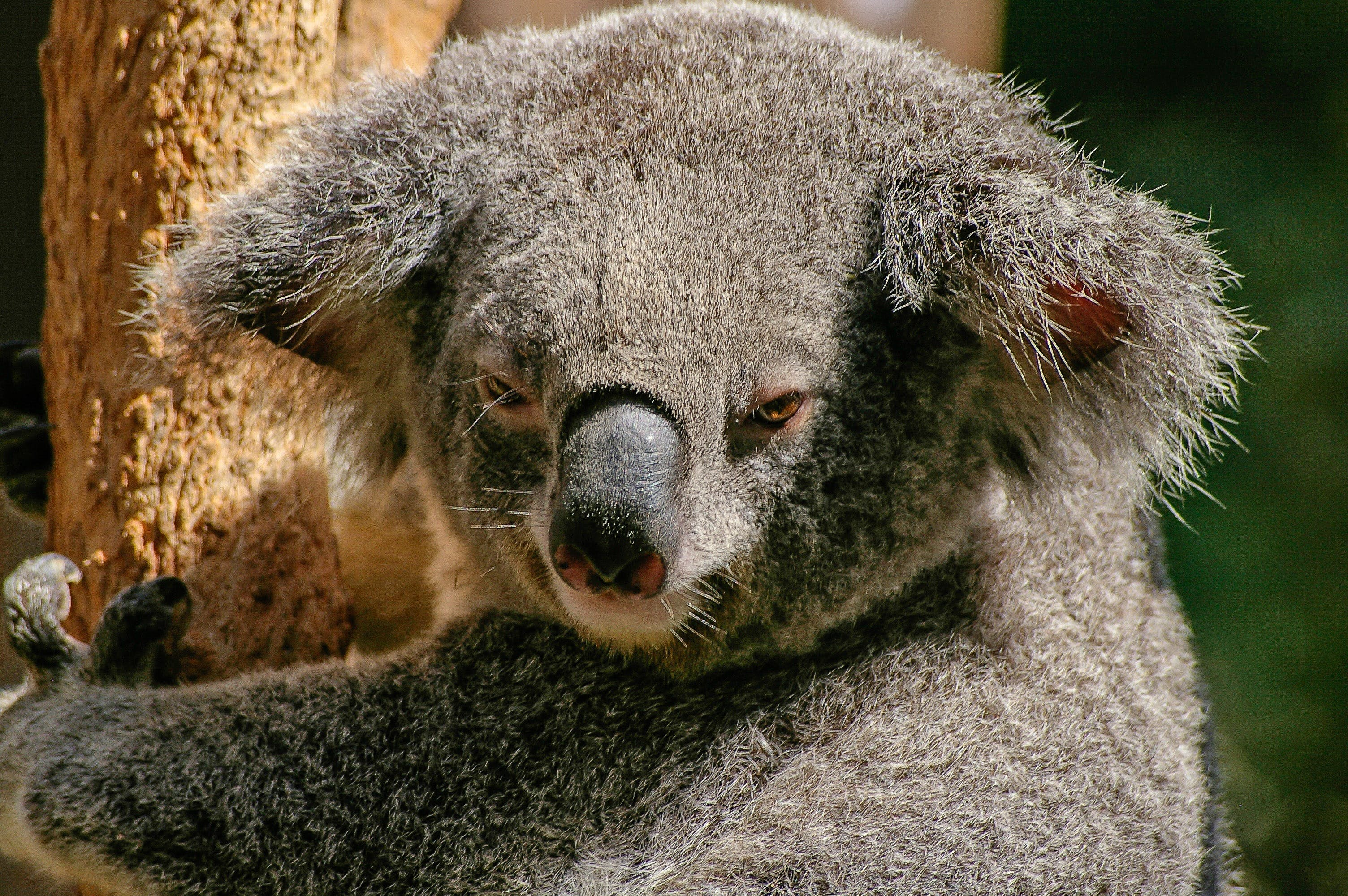Koala Bear on Tree during Daytime